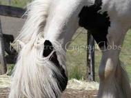 Pure bred Gypsy Cob Stallion for sale Australia. Gypsy Horse, Gypsy Vanner, Irish Tinker horse.