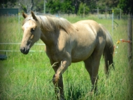 Gypsy cob for sale, Gypsy horse for sale, Part bred palomino gypsy cob at High Street Gypsy Cobs Australia