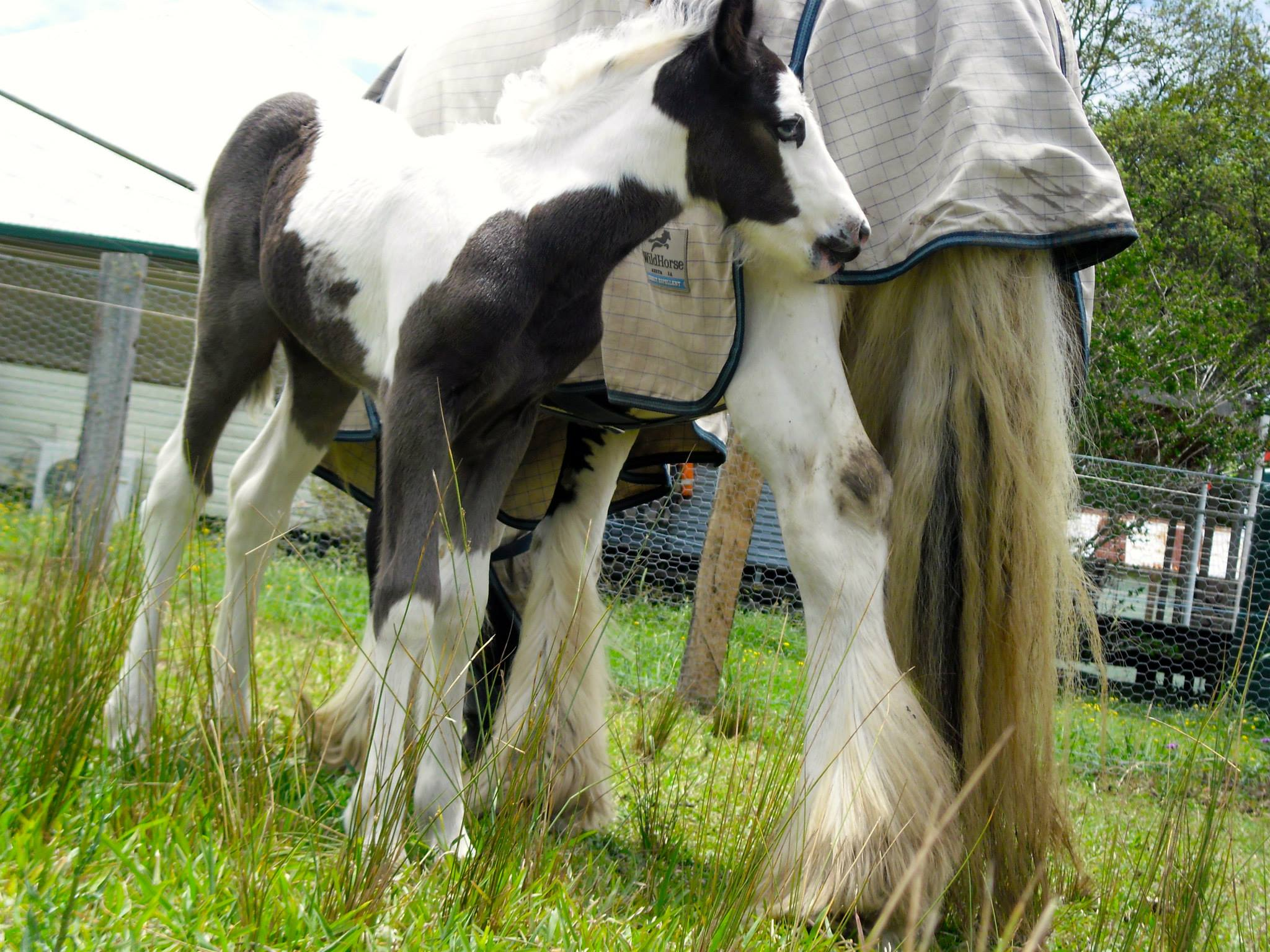 2013 foal by THE PAINTED WARRIOR & Gypsy Elites Amelia, owned by Homeleigh Gypsy Cobs