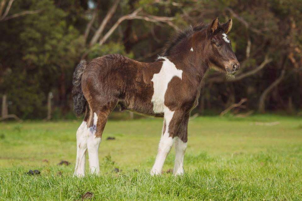 2013 foal by ITS BOESTER & Friesian WB mare Trina. Photo by Peninsula Pix