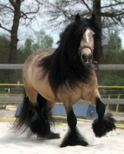 gypsy cob for sale australia, gypsy horse, stallion at stud, pinto, gypsy banner at High Street Gypsy Cobs