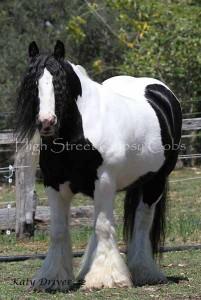 Gypsy Cob, Gypsy Horse, GypGypsy Cob, Gypsy Horse, Gypsy Vanner, High Street Gypsy Cobs, Australia.