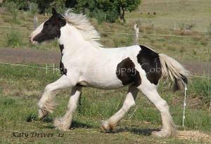 Gypsy Cob, Gypsy Horse, Gypsy Vanner, High Street Gypsy Cobs, Australia.