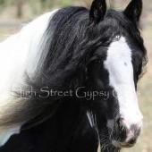 gypsy cob for sale, gypsy horse for sale, drum horse australia, blue roan tobiano colt, gypsy vanner at High Street Gypsy Cobs Australia, heavy horse for sale,  blue roan pinto, draft horse, foal, colt, gypsy cob stallion at stud, foal for sale,