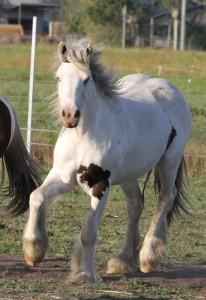 Gypsy Cob, Gypsy Vanner, Gypsy Horse for sale at High Street Gypsy Cobs