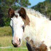 Gypsy Horse, Gypsy Cob Filly. High Street's Little Lion Heart of High Street Gypsy Cobs, Australia