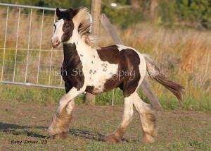 Gypsy Cob foal, Gypsy Horse foal, Gypsy Vanner foal at High Street Gypsy Cobs