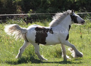 Gypsy Cob, Gypsy Horse, Blue eyes, Gypsy Vanner from The Lioness & The Lion King