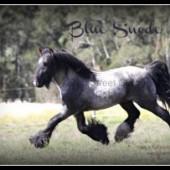 Blue Suede Gypsy Cob, Gypsy Horse, Gypsy Vanner stallion, blue roan at stud at High Street Gypsy Cobs, Australia.