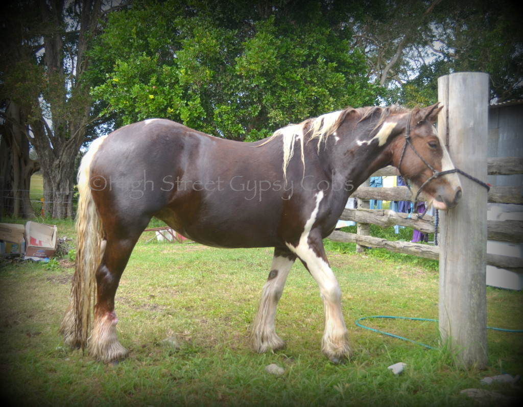 gypsy cob mare and foal, red & white gypsy vanner, gypsy horse at high street gypsy cobs