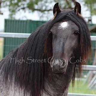 Gypsy Cob, Gypsy Horse, Gypsy Vanner at Equitana Sydney, blue roan stallion standing at stud at High Street Gypsy Cobs Australia. SD Blue Suede Imp UK.