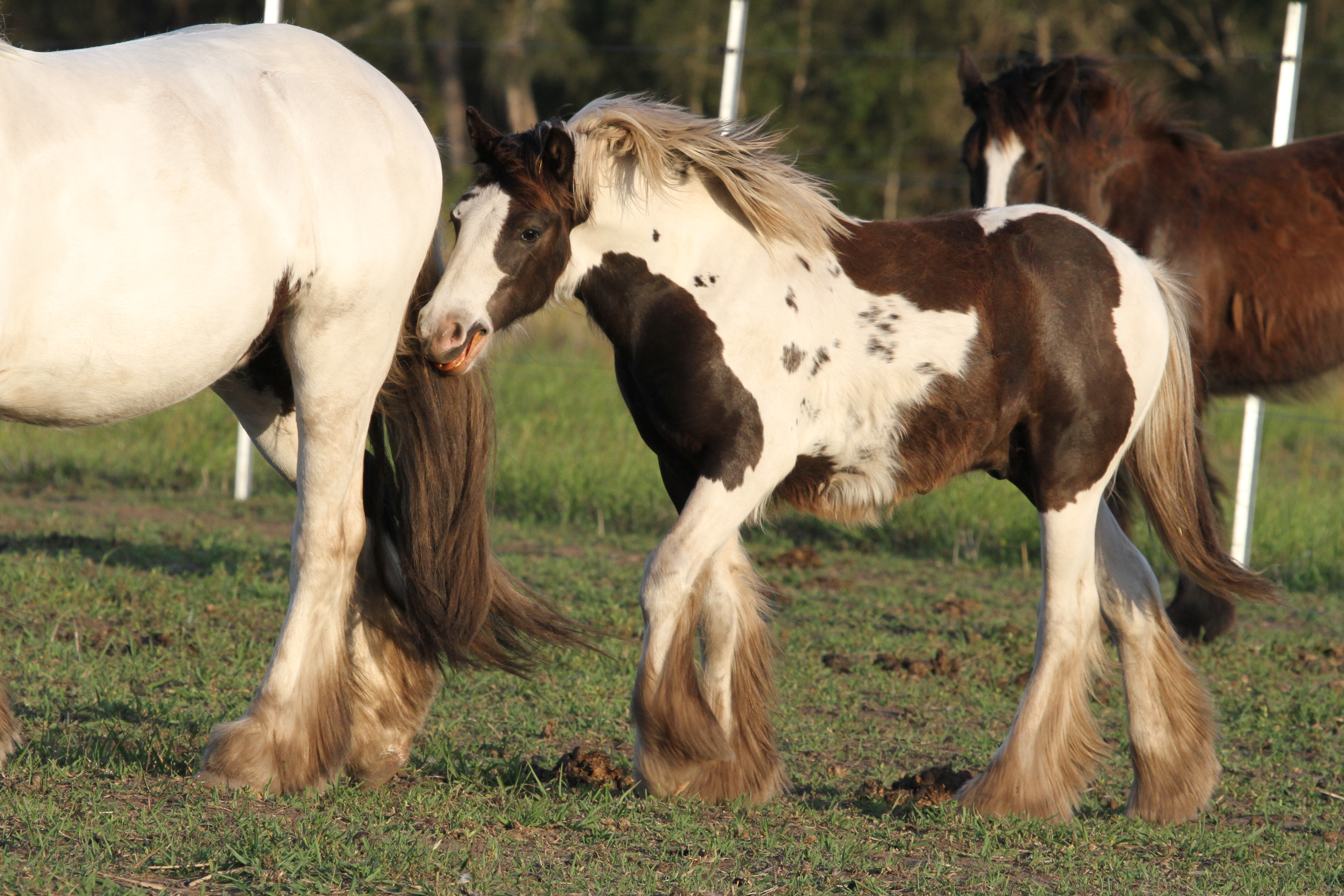 High Street's The Peaceful Warrior. Homozygous Tobiano colt for sale