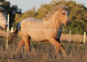 Gypsy cob for sale, at High Street Gypsy Cobs