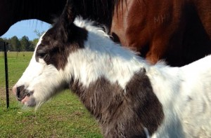 Gypsy Cob filly for sale at High Street Gypsy Cobs