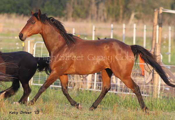 School master, thoroughbred, gelding, for sale at High Street Gypsy Cobs, Australia