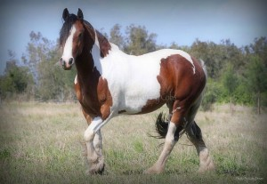 Drum horse for sale, gypsy cob, gypay vanner, gypsy horse at high street gypsy cobs