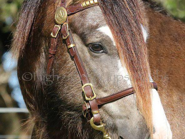 Gypsy Cob Stallion At Stud, Gypsy Cob for sale Australia, Gypsy Horse, Gypsy Vanner, Stallion at stud, Heavy horse, Wedding Horse, High Street GYpsy cobs