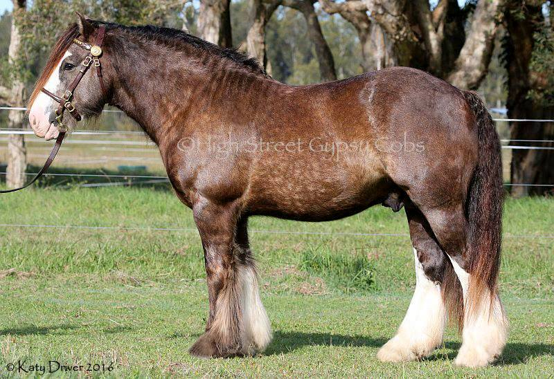 Gypsy cob for sale australia, Gypsy cob stallion at stud, heavy horse, Gypsy Vanner, Gypsy Horse, Stallion at Stud, High Street Gypsy cobs