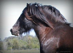 High Streets The Horseshoe Stallion, Gypsy Cob Stallion for sale, Gypsy Horse, Gypsy vanner