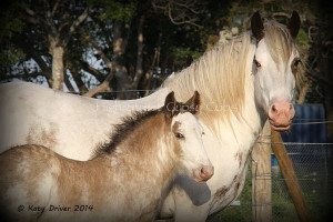 Gypsy Cob colt HIGH STREET'S THE ROCKING HORSE COLT is for sale