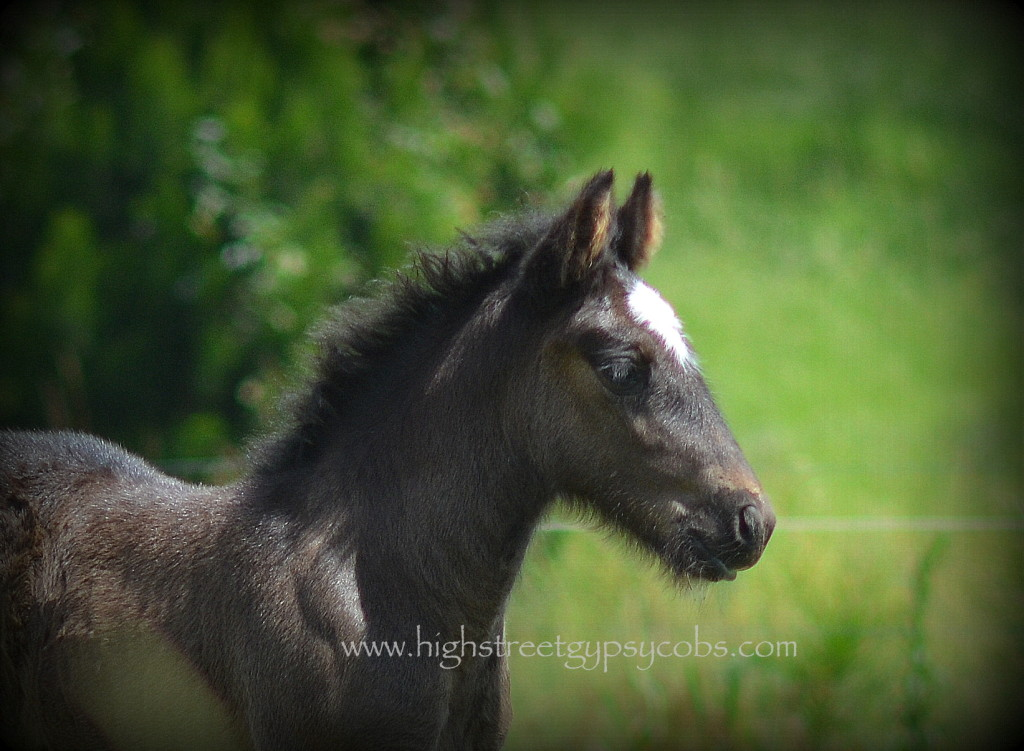 Gypsy cob for sale, blue roan gypsy horse, filly, for sale at High Street Gypsy Cobs, Australia