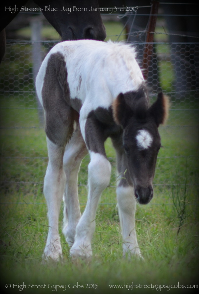 blue roan tobiano gypsy cob colt, blue gypsy horse foal, gypsy banner for sale at High Street Gypsy Cobs Australia.