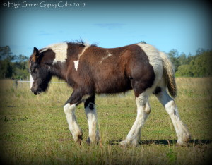 gypsy cob for sale australia, gypsy horse, gypsy vanner, at high street gypsy cobs