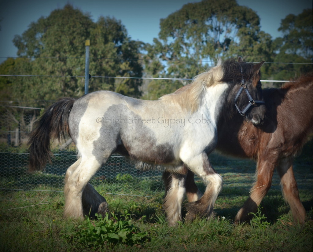 gypsy cob for sale, gypsy horse for sale, blue roan tobiano colt, gypsy vanner at High Street Gypsy Cobs Australia