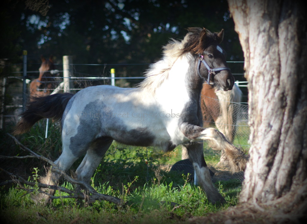 blue roan gypsy cob for sale, High Streets Blue Jay, Gypsy horse for sale, gypsy vanner colt foal for sale australia
