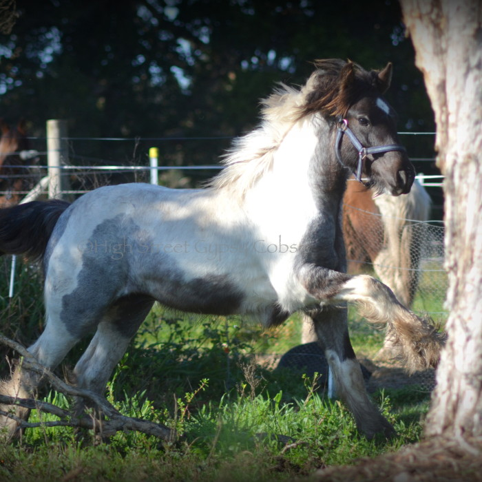 gypsy cob for sale, gypsy horse for sale, drum horse australia, blue roan tobiano colt, gypsy vanner at High Street Gypsy Cobs Australia, heavy horse for sale,  blue roan pinto, draft horse, foal, colt, gypsy cob stallion at stud, foal for sale,