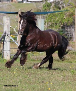 gypsy cob for sale at high street gypsy cobs