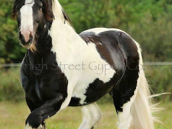 Gypsy Cob Stallion at stud Australia, Gypsy horse for sale, gypsy vanner, heavy horse, pinto,