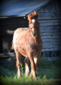 red roan gypsy cob for sale australia, gypsy horse for sale, gypsy vanner for sale at High Street Gypsy Cobs Australia, colt, foal