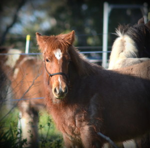 High Street's red suede, red roan gypsy cob for sale australia, gypsy horse for sale, gypsy vanner for sale at High Street Gypsy Cobs Australia, colt, foal