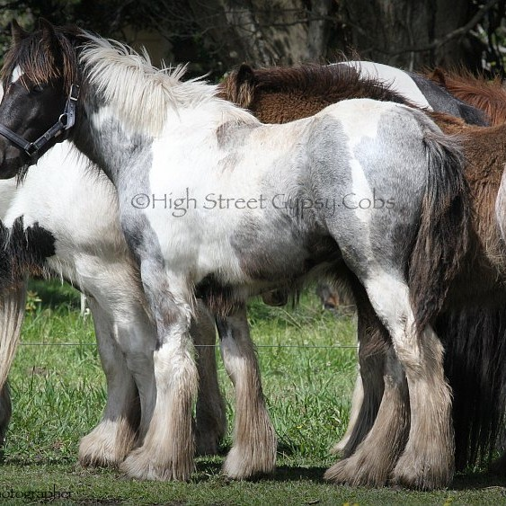 High Streets Blue Jay, Gypsy Cob for sale at High Street Gypsy Cobs Australia, Gypsy Horse, Gypsy Vanner, blue roan tobiano, coloured cob, gypsy cob for sale, gypsy horse for sale, drum horse australia, blue roan tobiano colt, gypsy vanner at High Street Gypsy Cobs Australia, heavy horse for sale,  blue roan pinto, draft horse, foal, colt, gypsy cob stallion at stud, foal for sale,