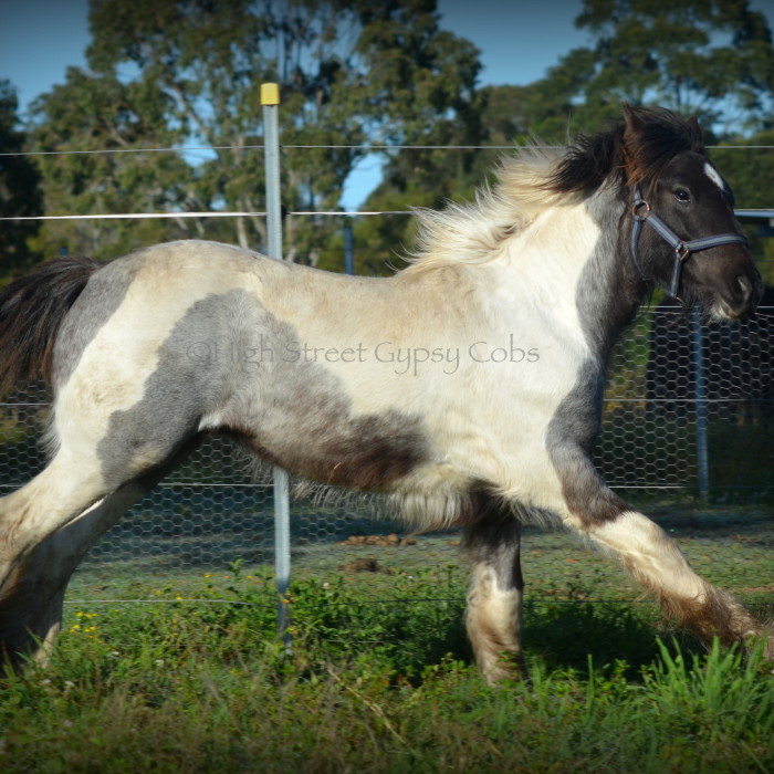 gypsy cob for sale, gypsy horse for sale, blue roan tobiano colt, gypsy vanner at High Street Gypsy Cobs Australia, heavy horse for sale, blue roan pinto, draft horse, foal, colt,