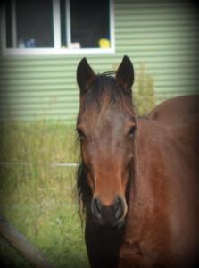 High Street Gypsy Cobs Last chance horse project, High Street Equine Haven, Last chance horse, adoption,
