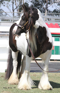 Gypsy cob for sale australia, gypsy horse for sale, gypsy vanner for sale, blue foal, colt at High Street Gypsy Cobs, heavy horse, draft horse, High Street Gypsy Cobs, Pinto, stallion at stud