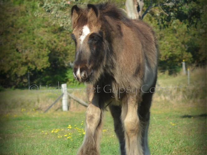 Gypsy cob for sale australia, gypsy horse for sale, gypsy vanner for sale, blue foal, colt at High Street Gypsy Cobs, heavy horse, draft horse, High Street Gypsy Cobs, Pinto, stallion at stud, gypsy cob for sale, gypsy horse for sale, drum horse australia, blue roan tobiano colt, gypsy vanner at High Street Gypsy Cobs Australia, heavy horse for sale,  blue roan pinto, draft horse, foal, colt, gypsy cob stallion at stud, foal for sale,