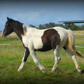 Gypsy cob for sale australia, Gypsy horse, gypsy vanner, part bred, pinto filly foal, heavy horse, Australian Gypsy Horse Society, High Streets Athena for sale at High Street Gypsy Cobs.