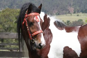 gypsy cob stallion at stud, gypsy cob for sale, pinto, coloured cob, gypsy banner at High Street Gypsy Cobs Australia, ITS Boester of High Street Gypsy Cobs