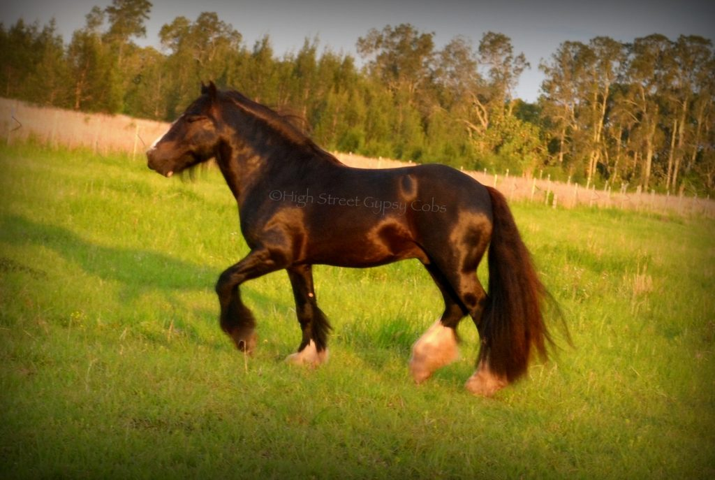gypsy cob for sale, high street gypsy cob