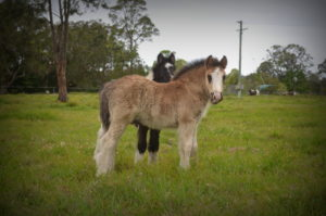 gypsy cobs for sale, gypsy vanner, gypsy horse for sale