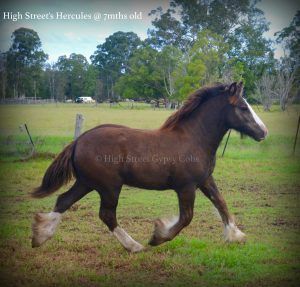 high street gypsy cobs, gypsy cob for sale,