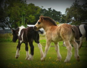 gypsy cob for sale, gypsy horse for sale australia
