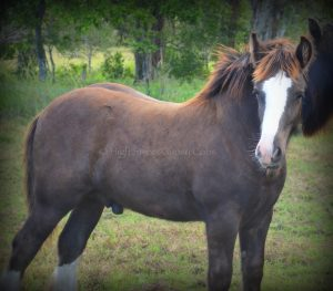 high streets hercules, gypsy cob for sale, the lioness, ypsy vanner, high street gypsy cobs australia, gypsy horse