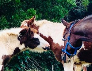 Gypsy Cob foal for sale at High Street Gypsy Cobs Australia